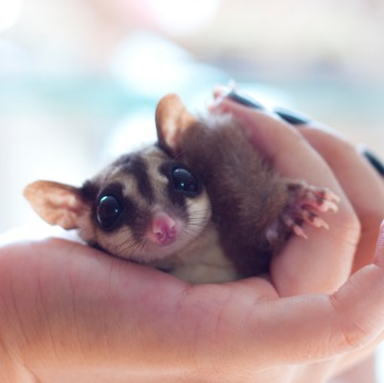 sugar glider
