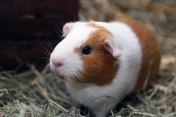 how to tell if your guinea pig is depressed