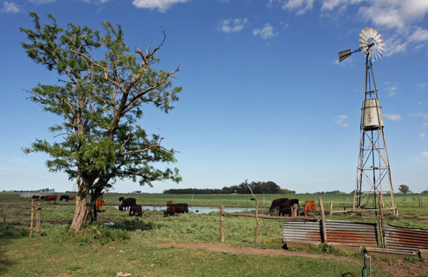 Buenos Aires, Argentina -- Cattles in the pampas