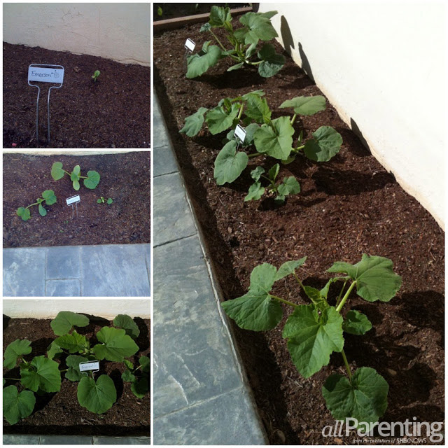 Pumpkin patch growing