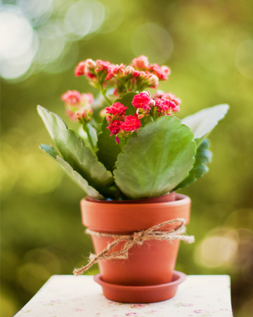 Succulent plant as gift