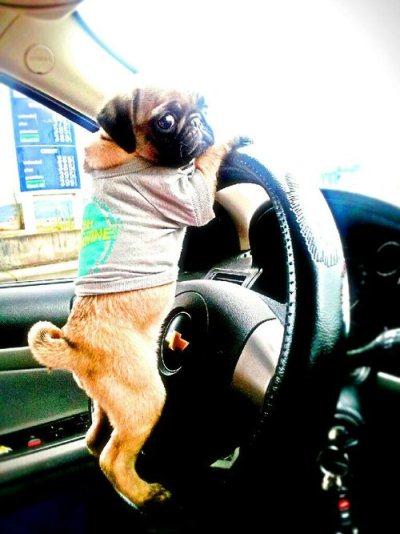 A cute pug