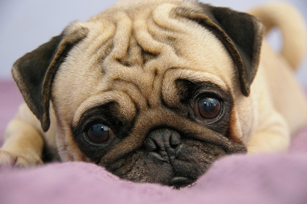 Pugs we Love