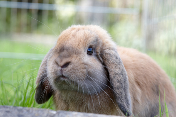 Bunny in outdoor enclosure