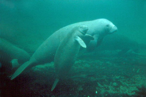 Help protect manatees in Belize