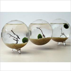 Marimo glass ball tanks