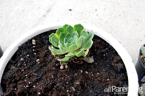 succulent garden step 5