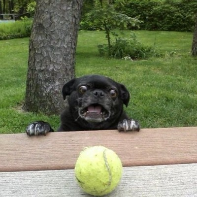 Dog looking at tennis ball