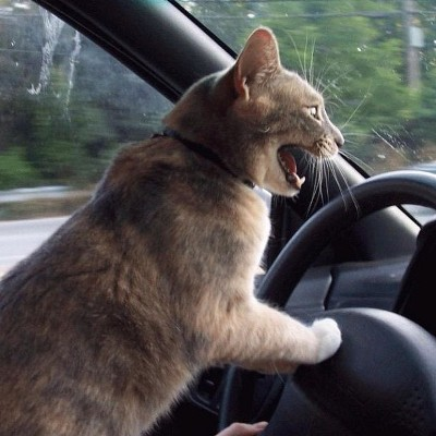 Cat driving car