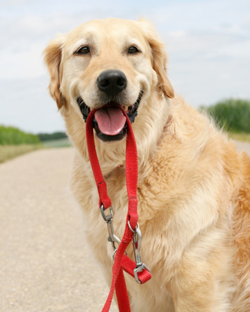 Dog holding leash in mouth