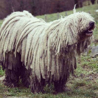 Dogs with dreadlocks
