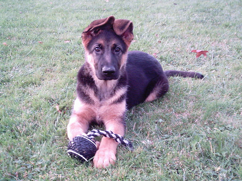 german shepherd 10