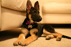 german shepherd 7