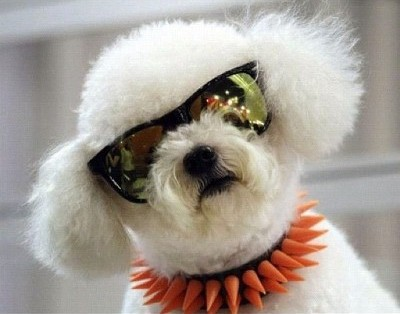 Dog wearing shades