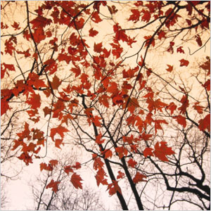 Red Maple and Autumn Sky print