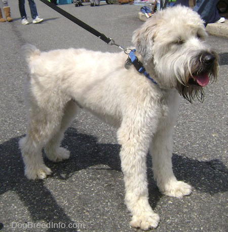 Dog breeds for families: Soft Coated Wheaten Terriers