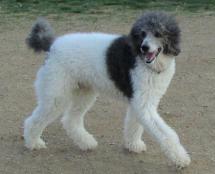Dog breeds for families: Standard Poodle