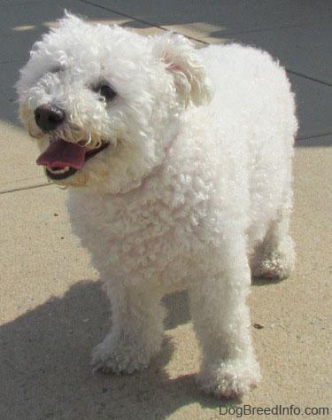 Dog breeds for families: Bichon Frises