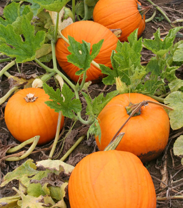 Pumpkins growing in garden