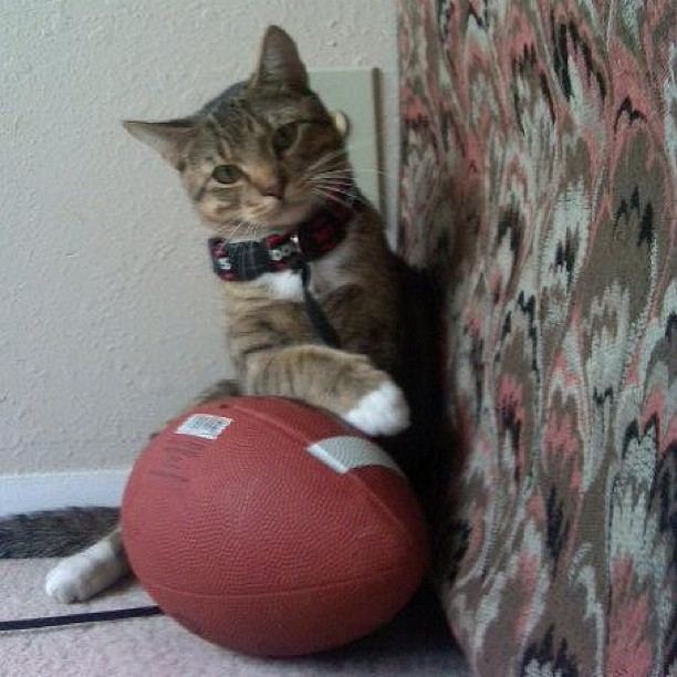 cat with a football