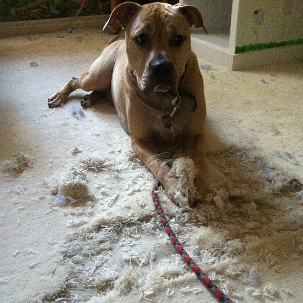 dog destroying carpet