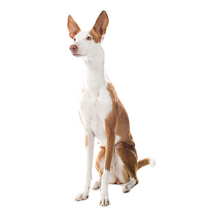 Ibizan Hound | Sheknows.com