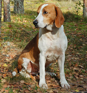 American Foxhound | Sheknows.com