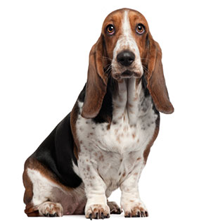 Bassett Hound | Sheknows.com