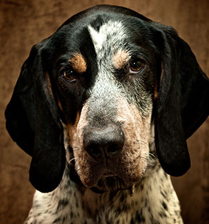 Bluetick Coonhound | Sheknows.com