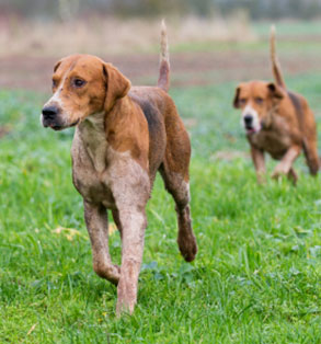 English Foxhound | Sheknows.com