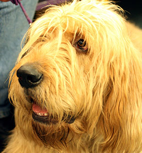 Otterhound | Sheknows.com