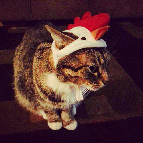 Chicken cat