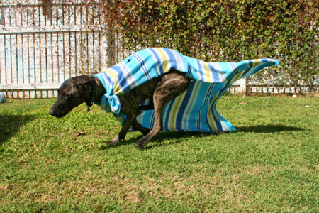 Dog in a blanket