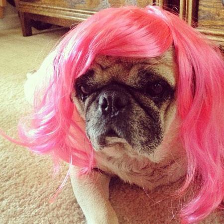 Pink wig dog