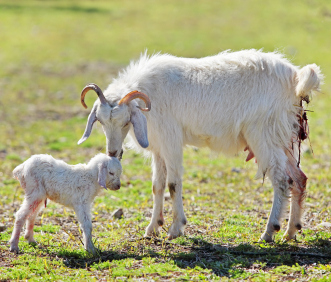 newborn goat and mother