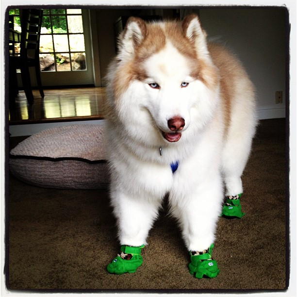 Big doog in green boots