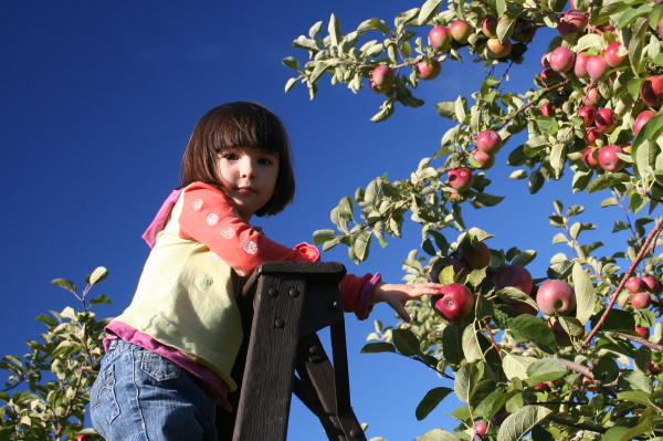 Child picking apples