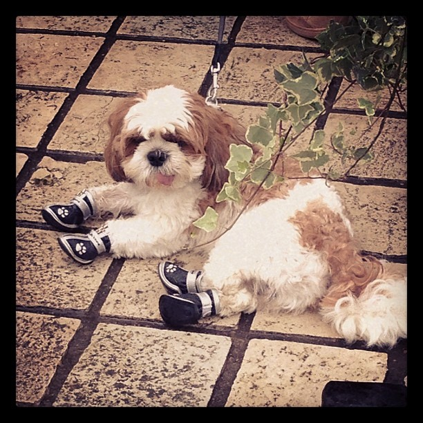 Dog in paw booties