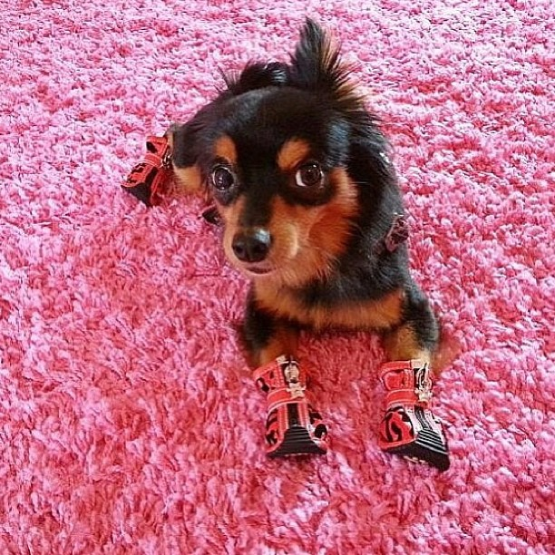 Dog in pink booties