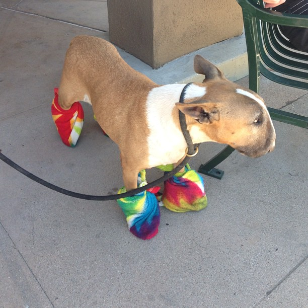 Dog in rainbow booties