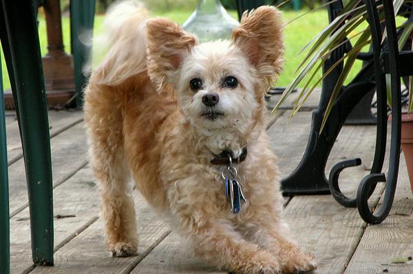 7 Trendy Designer Dog Breeds