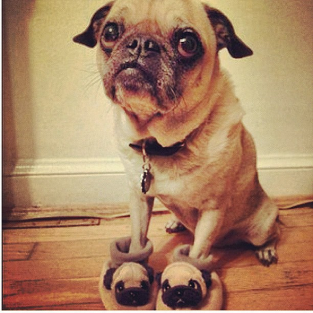 Pug in pug shoes