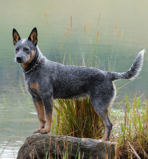 Australian cattle dog | Sheknows.com