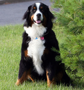 Bernese mountain dog | Sheknows.com