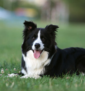 Border collie | Sheknows.com