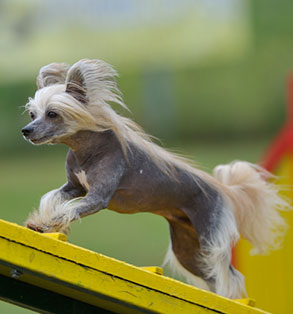 Chinese crested | Sheknows.com