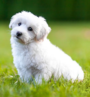 Bichon Frise | Sheknows.com