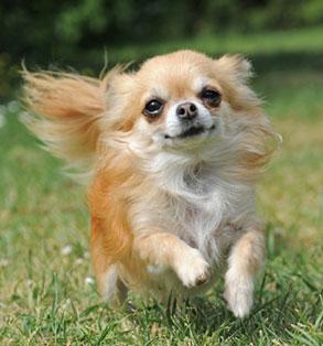 Chihuahua | Sheknows.com