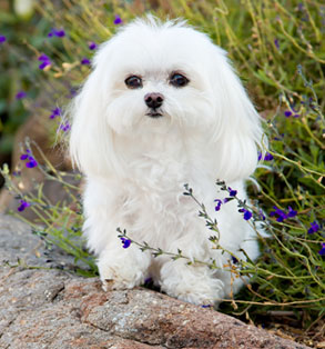Maltese | Sheknows.com