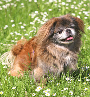 Pekingese | Sheknows.com